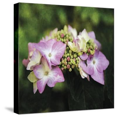 Hydrangea Bloom-Pete Kelly-Stretched Canvas Print