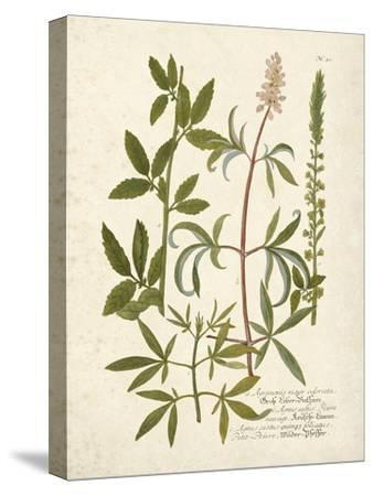 Botanica Agrimonia-The Vintage Collection-Stretched Canvas Print