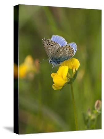 Blue Butterfly Yellow Blossom-Grab My Art-Stretched Canvas Print