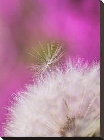 Dandelion Seedhead Flower 3-Grab My Art-Stretched Canvas Print