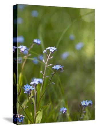Forget Me Not 3-Lebens Art-Stretched Canvas Print