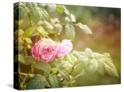 Summer Rose-Lebens Art-Stretched Canvas Print