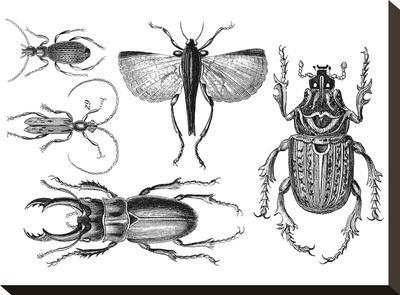 Beetle 2-Lebens Art-Stretched Canvas Print