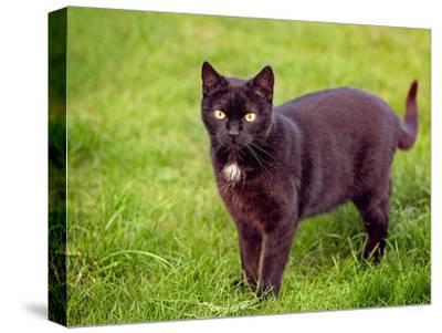 Black Cat-Lebens Art-Stretched Canvas Print