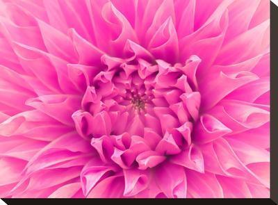 Pink Dahlia-Lebens Art-Stretched Canvas Print