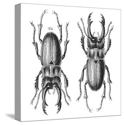 Stag Beetle - Square-Lebens Art-Stretched Canvas Print