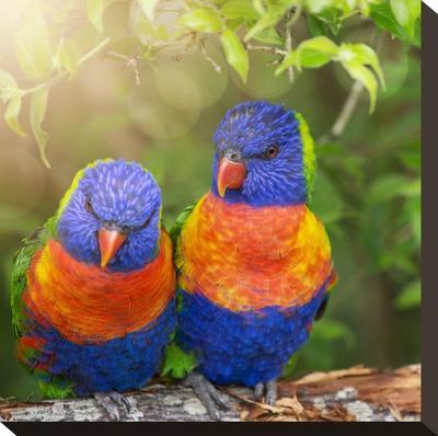 Lory Birds - Square-Lebens Art-Stretched Canvas Print