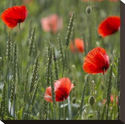 Poppy Field - Square-Lebens Art-Stretched Canvas Print