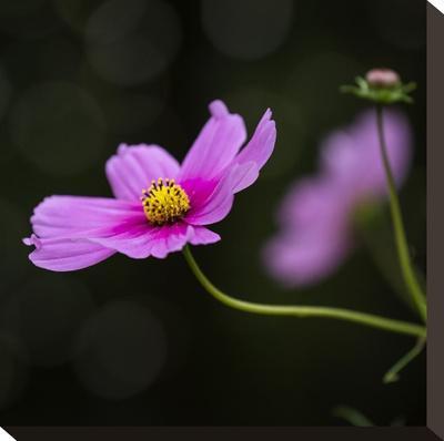 Cosmea Flower - Square-Lebens Art-Stretched Canvas Print