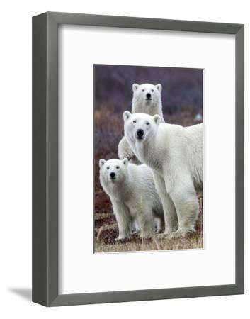 Churchill Polar Bears-Art Wolfe-Framed Art Print