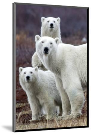 Churchill Polar Bears-Art Wolfe-Mounted Art Print