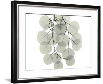 Descending Eucalyptus 4-Albert Koetsier-Framed Art Print