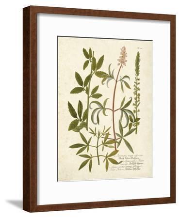 Botanica Agrimonia-The Vintage Collection-Framed Art Print