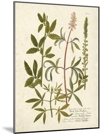 Botanica Agrimonia-The Vintage Collection-Mounted Art Print