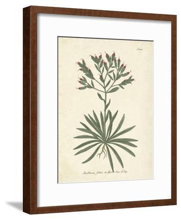 Botanica Anchusa-The Vintage Collection-Framed Art Print