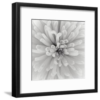 Chrysanthemum Centre-Assaf Frank-Framed Art Print