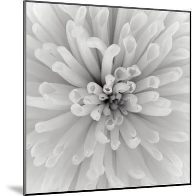 Chrysanthemum Centre-Assaf Frank-Mounted Art Print