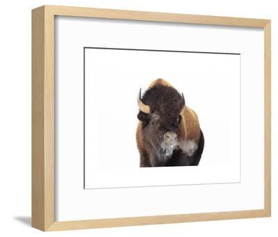 Winter Bison, Yellowstone-Jason Savage-Framed Art Print