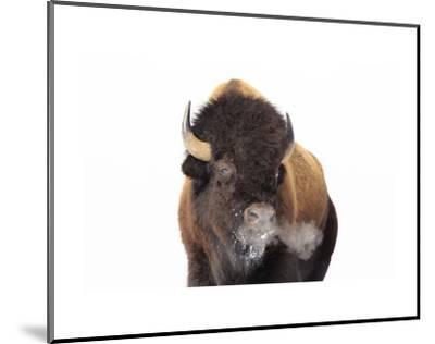 Winter Bison, Yellowstone-Jason Savage-Mounted Art Print