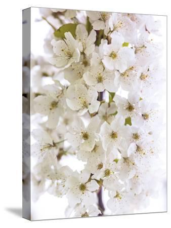 Blossom Bundle-Assaf Frank-Stretched Canvas Print