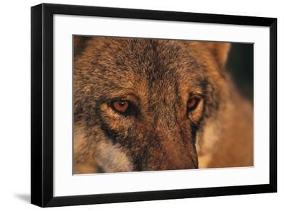 Wolf Eyes-Staffan Widstrand-Framed Giclee Print