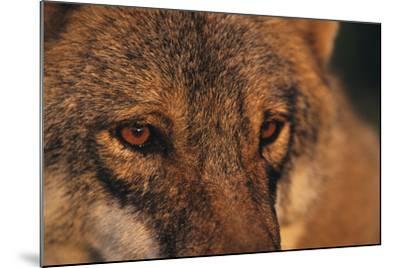 Wolf Eyes-Staffan Widstrand-Mounted Giclee Print