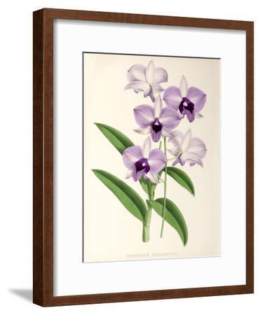 Fitch Orchid Dendrobium Phlaenopsis- New York Botanical Garden-Framed Art Print
