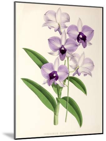 Fitch Orchid Dendrobium Phlaenopsis- New York Botanical Garden-Mounted Art Print