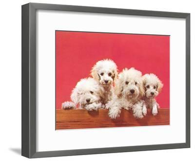 Poodle Puppies-Found Image Press-Framed Art Print
