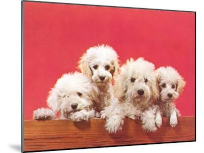 Poodle Puppies-Found Image Press-Mounted Art Print