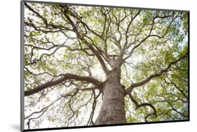 Enticing Oak-Michael Hudson-Mounted Art Print