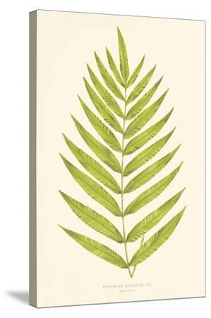 Polypodium Meniscifolium-Edward Joseph Lowe-Stretched Canvas Print