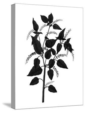 Botanica Baccifer - Noir-The Vintage Collection-Stretched Canvas Print