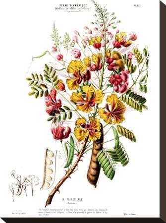 Flored Amerique Lapoincillade- New York Botanical Garden-Stretched Canvas Print