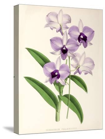 Fitch Orchid Dendrobium Phlaenopsis- New York Botanical Garden-Stretched Canvas Print