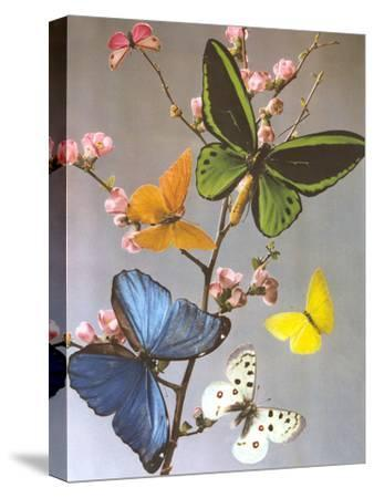 Butterflies On A Branch-Found Image Press-Stretched Canvas Print
