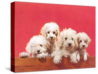 Poodle Puppies-Found Image Press-Stretched Canvas Print