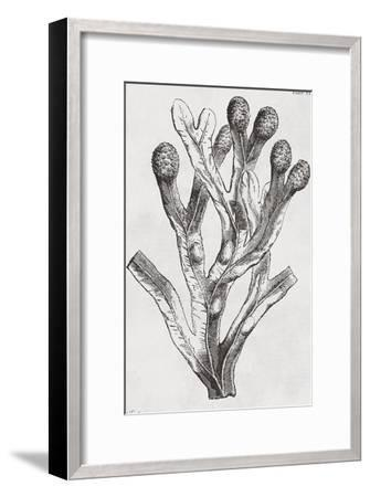 Fucus vesiculosus - Noir-Maria Mendez-Framed Art Print