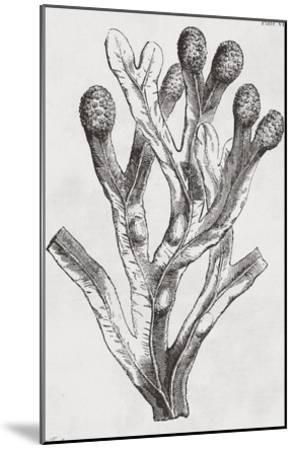 Fucus vesiculosus - Noir-Maria Mendez-Mounted Art Print