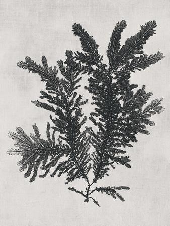 Ptilota plumosa - Noir-Henry Bradbury-Framed Giclee Print