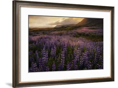 Field of Lupines-Danny Head-Framed Giclee Print