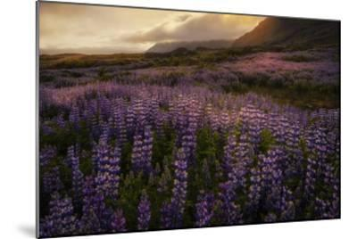 Field of Lupines-Danny Head-Mounted Giclee Print