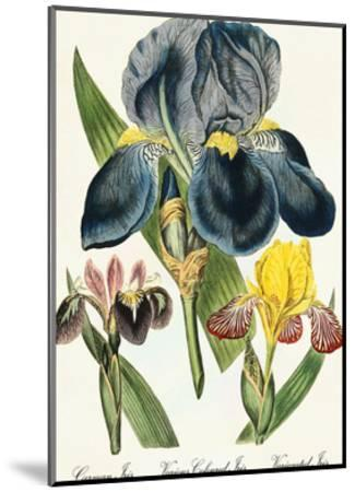 Iris-Coastal Print & Design-Mounted Art Print