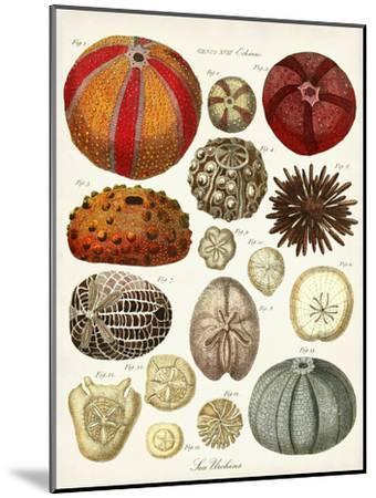 Sea Urchins-Coastal Print & Design-Mounted Art Print