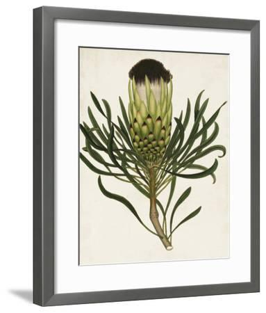 Antique Protea II-Unknown-Framed Giclee Print