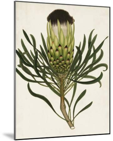 Antique Protea II-Unknown-Mounted Giclee Print