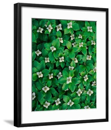 Bunchberry-William Neill-Framed Giclee Print