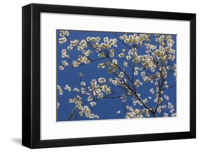 Dogwood Blossoms II-William Neill-Framed Giclee Print