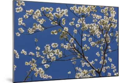 Dogwood Blossoms II-William Neill-Mounted Giclee Print