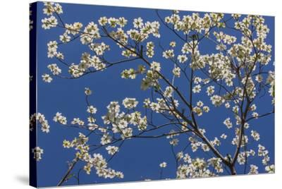 Dogwood Blossoms II-William Neill-Stretched Canvas Print